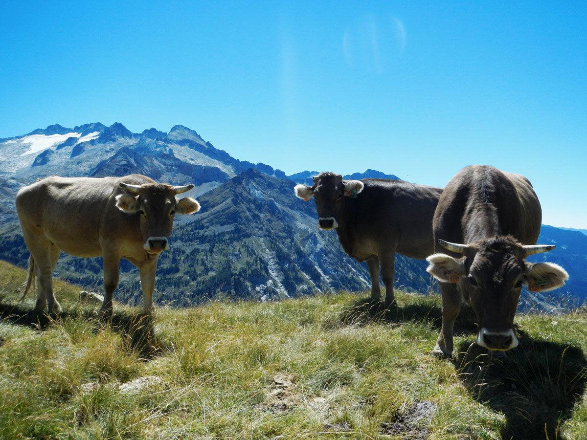vacas pirineos hd