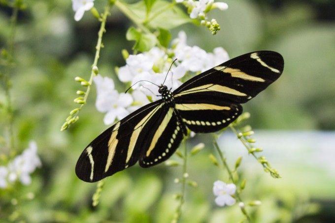 Mariposa a punto de alzar vuelo
