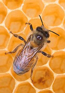 Img abeja foto usda ars