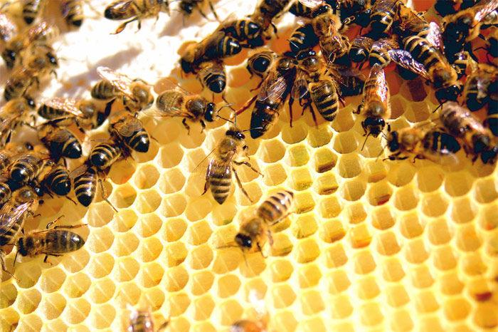 Img abejas