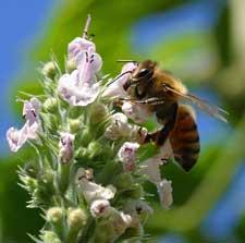 Img abejas2