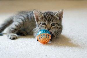 Img adoptar gatos cachorros felinos animales mascotas adopcion acogida art