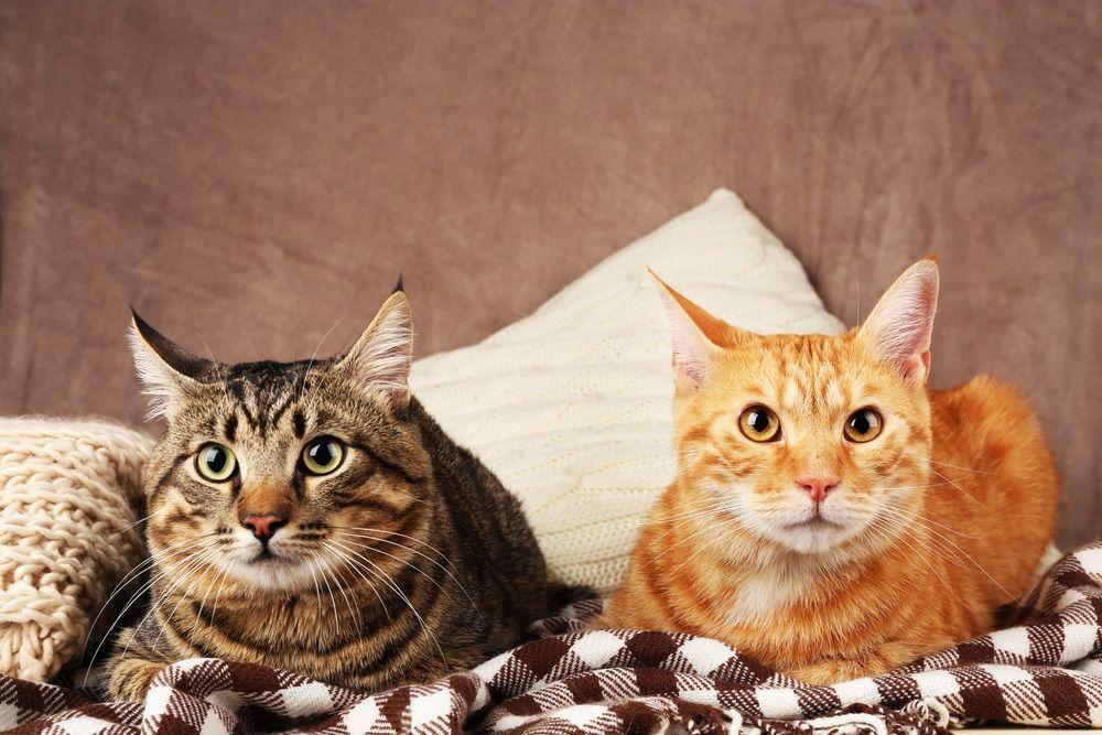 img_adoptar gatos dos