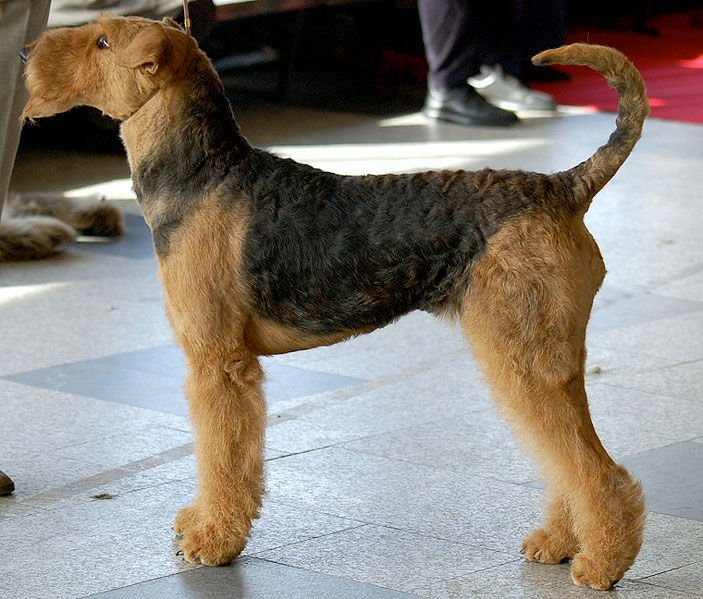 img_airedale terrier