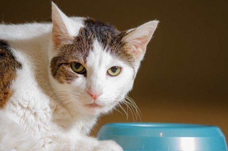 Img alimentar gatos esterilizados como art
