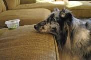 Img alimentar perros delgados desnutridos consejos animales mascotas comidas listado