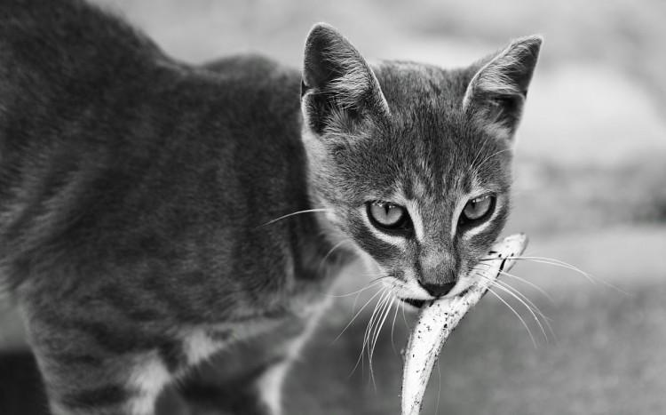 Img alimentos peligrosos gato articulo