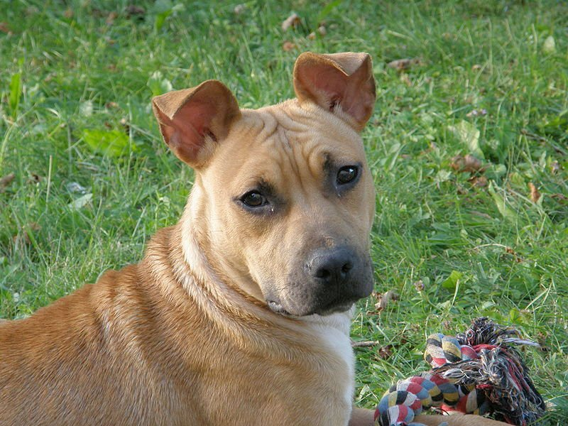 img_american staffordshire terrier