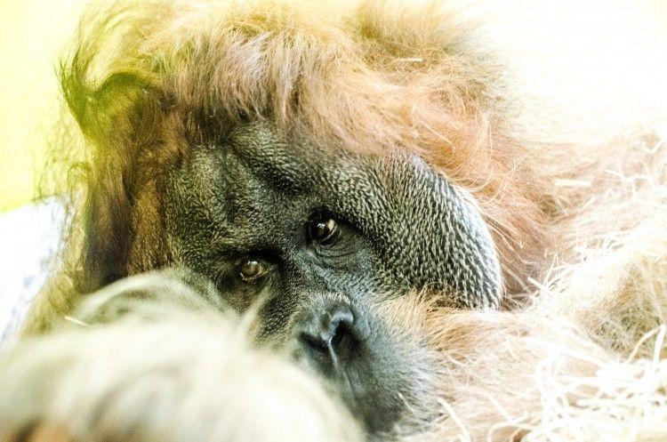 Img animales gorilas art