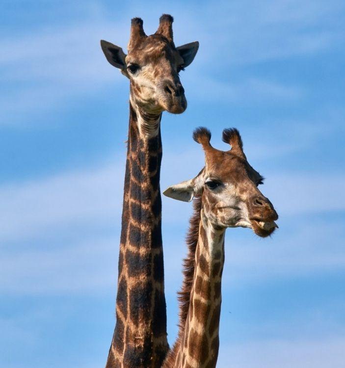 Img animales jirafa art
