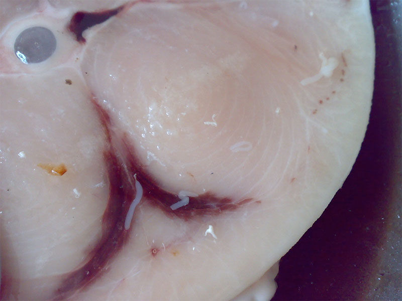 Img anisakis pescado