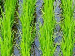 Img arrozal4