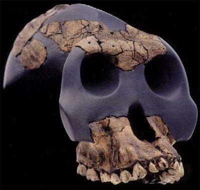 Img australopithecusgarhi