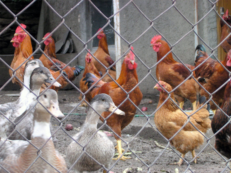 Img aves corral