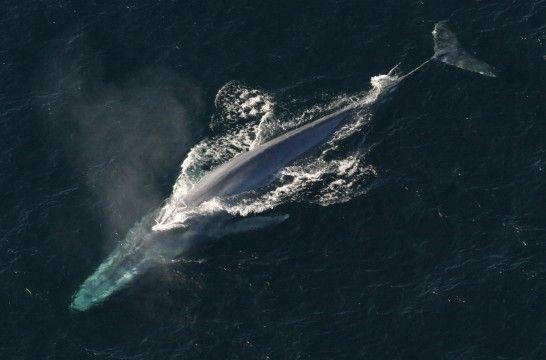 Img ballena azul listg