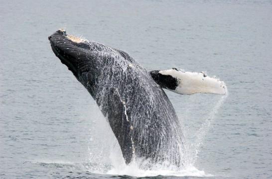 Img ballena listg
