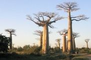 Img baobabs1 listado
