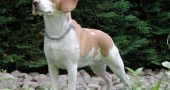 Img beagle