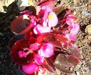 Img begonia