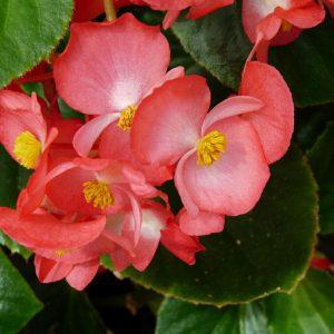 La begonia, una planta atractiva por sus flores y su follaje   Consumer