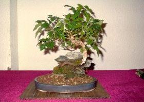 Img bonsai art