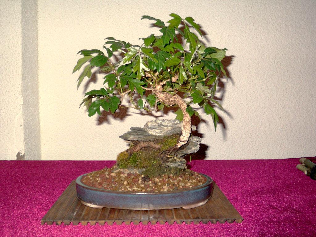 Img bonsai