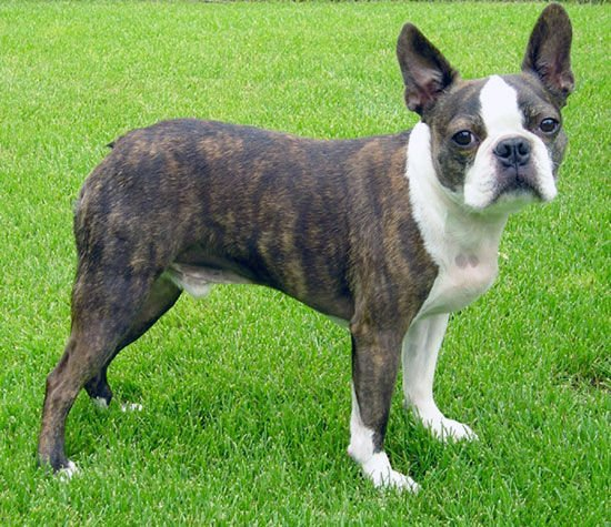 img_boston terrier