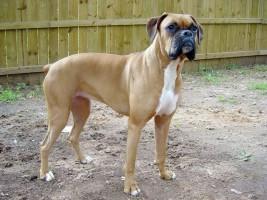 Img boxer razas preferidas vivir perros animales art