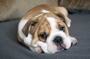 img_bulldog francespeque a 1