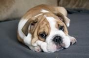 img_bulldog francespeque a