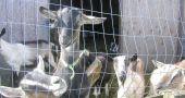 Img cabras