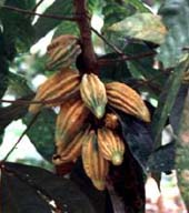 img_cacao 1