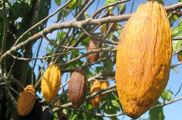 Img cacao listado