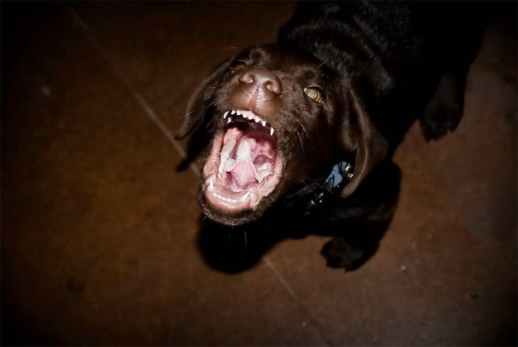 Img cachorro ladrando