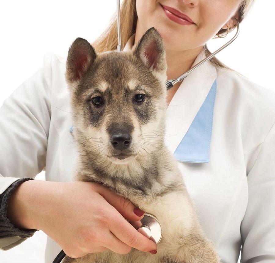 Img cachorros parvo salud perros art
