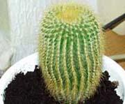 Kaktusak