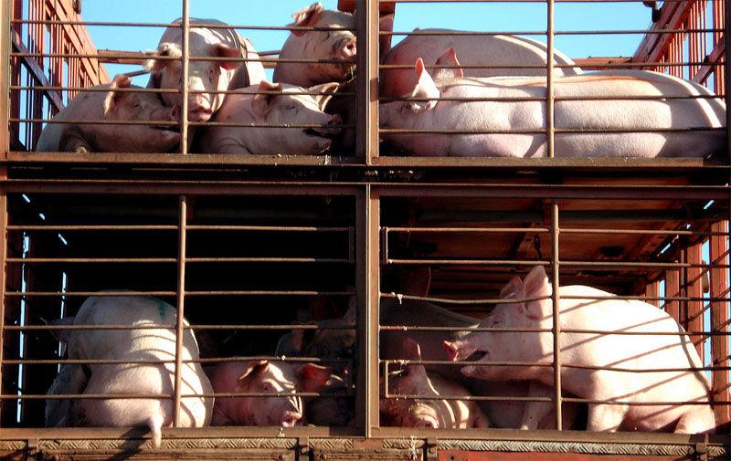 Img camion cerdos