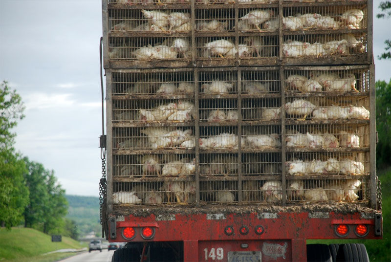 img_camion pollos