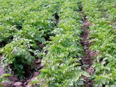Img campo patatas1