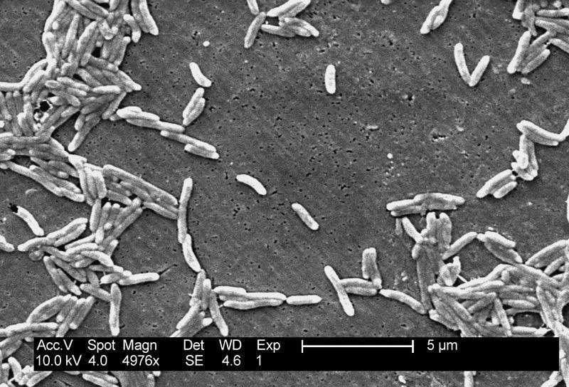 Img campylobacter