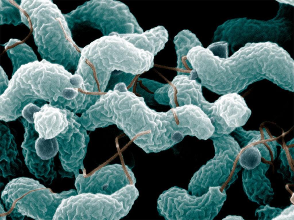 Img campylobacter hd
