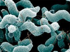 Img campylobacter1