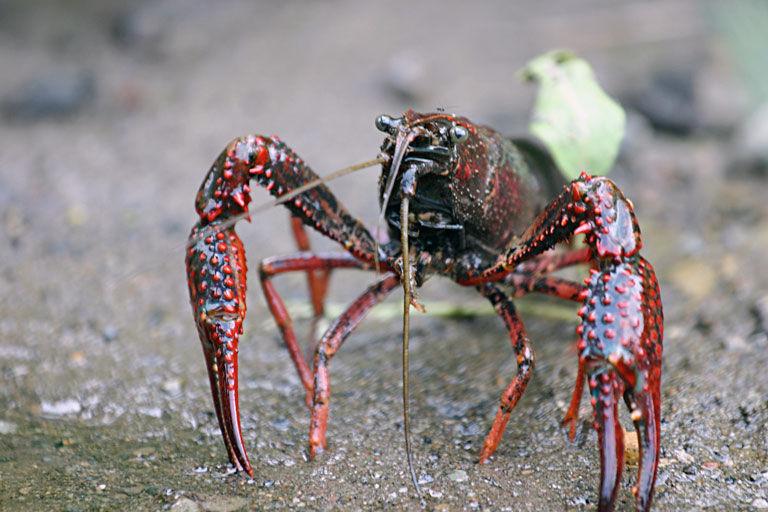 Img cangrejo americano