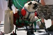 Img carritos perros sillas ruedas remolques canes mascotas viajar listado