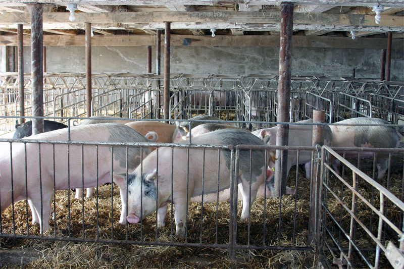 Img cerdos granja