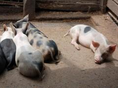 Img cerdos
