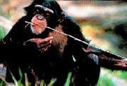 Img chimpance