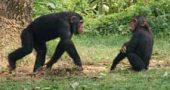 img_chimpances