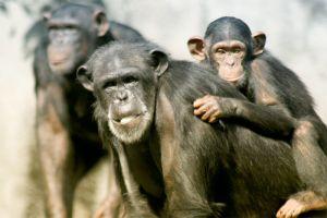 img_chimpances 2