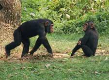 Img chimpances